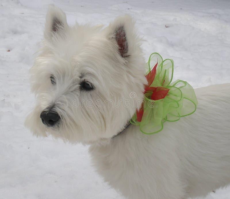 Zachodni Górski Terrier zdjęcia royalty free