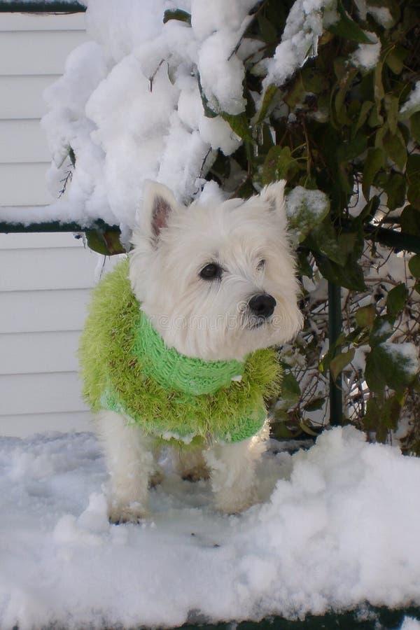 Zachodni Górski Terrier fotografia royalty free