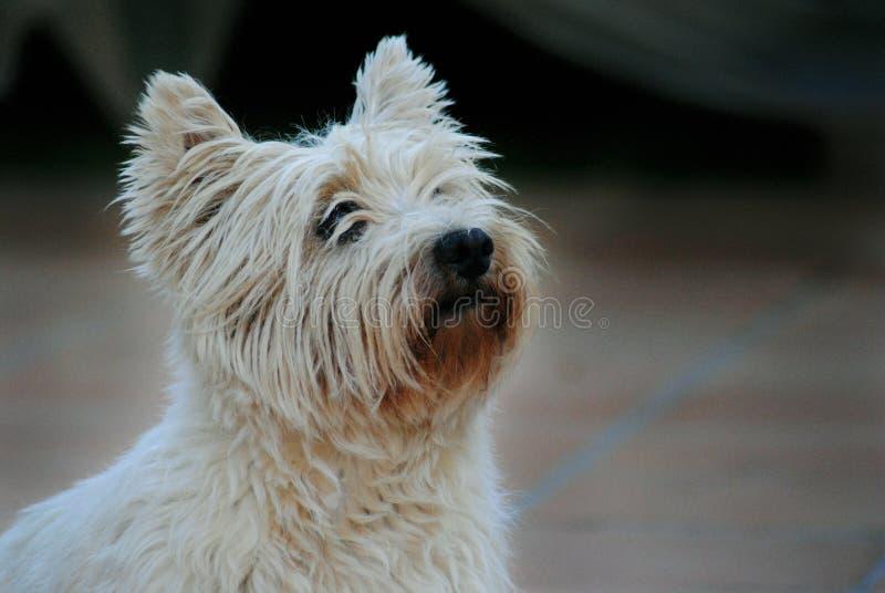 Zachodni Górski Terrier zdjęcia stock