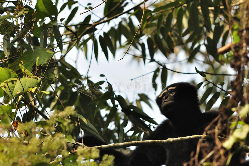 Zachodni Hoolock Gibbon, samiec zdjęcia stock