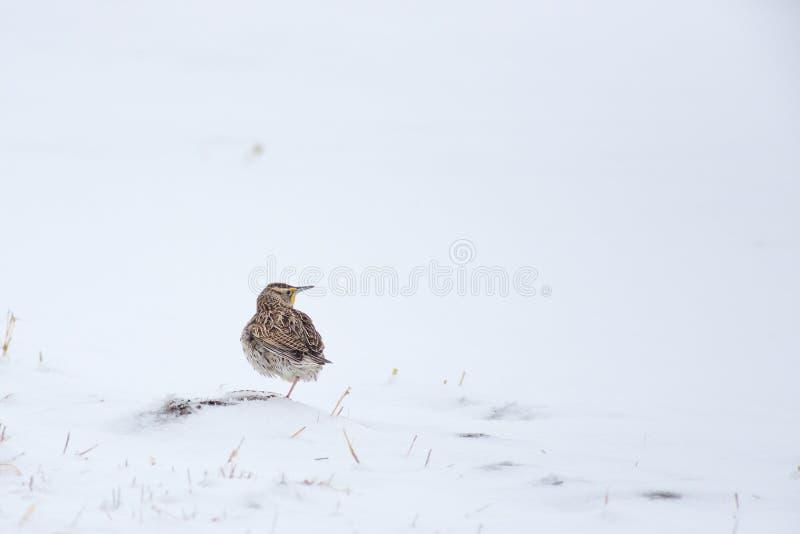 Zachodni Meadowlark w śniegu - Nebraska obraz royalty free