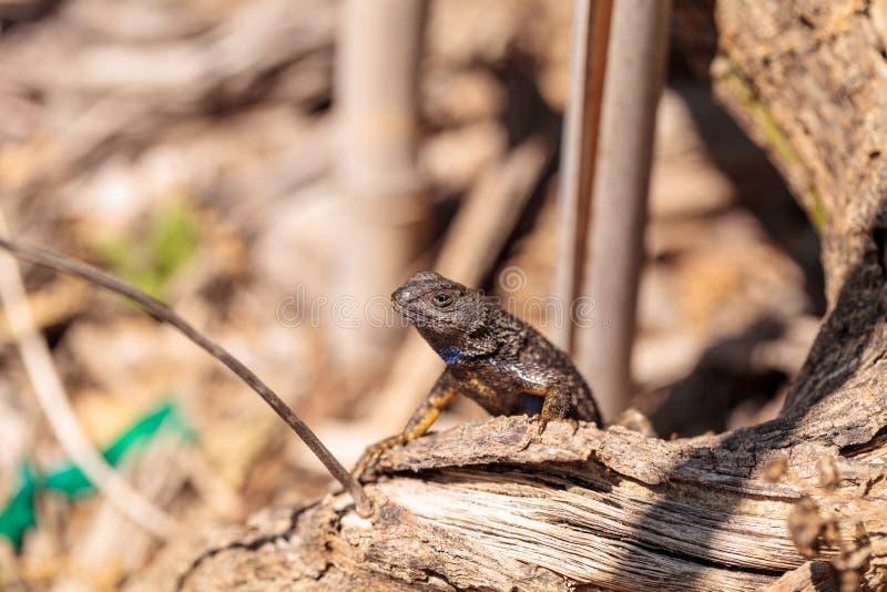 Zachodni płotowej jaszczurki Sceloporus nazwani occidentalis obraz stock