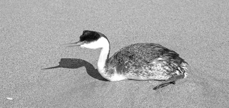 Zachodni perkoz i cień na plaży w Ventura Kalifornia Stany Zjednoczone - czarny i biały zdjęcie royalty free