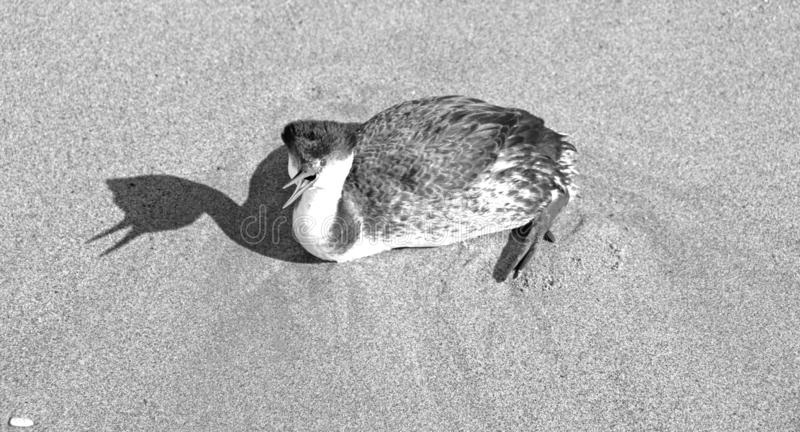 Zachodni perkoz skrzeczy na Ventura plaży Kalifornia Stany Zjednoczone - czarny i biały fotografia royalty free