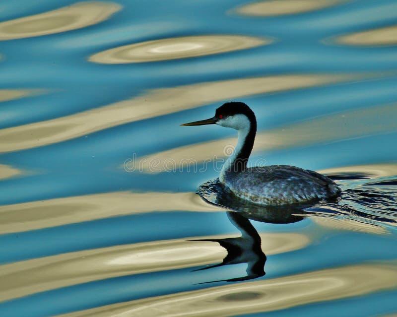 Zachodni perkoza jeziora odbicia zdjęcie stock