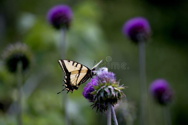 Zachodni Tygrysi Swallowtail Motyli Nectaring na Jaskrawym Purpurowym osetu kwiacie obrazy stock