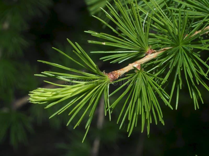 Zachodni White Pine Monticola Lub Pinus zdjęcie stock