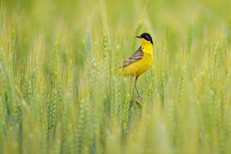 Zachodnia żółta pliszka, Motacilla flava w zielonym polu, siedzi na jęczmiennym uszatym kolcu Żółty ptak z czerni głową w zdjęcie royalty free