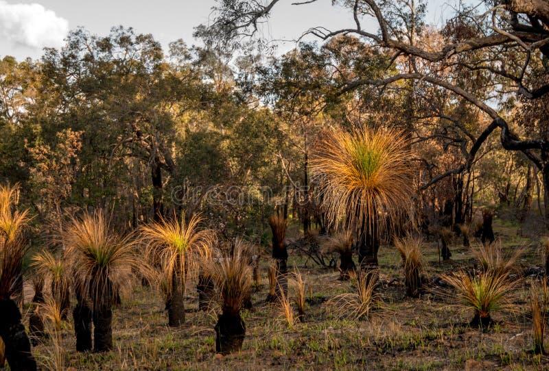 Zachodnia Australia kraj - traw drzewa obraz royalty free