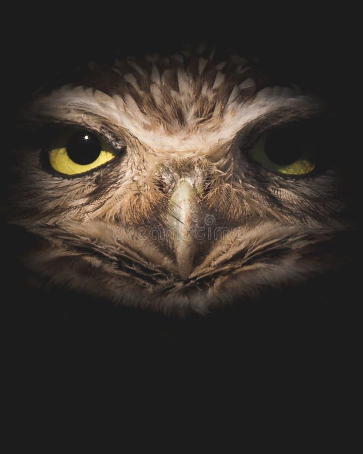 Zachodnia Grzebie sowa w nocy - Zamyka W górę portreta na Czarnym tle z kopii przestrzenią obrazy royalty free