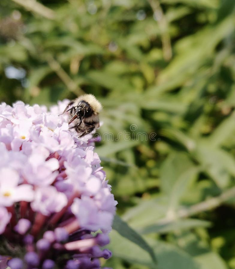 Zachodnia Miodowa pszczoła obrazy royalty free