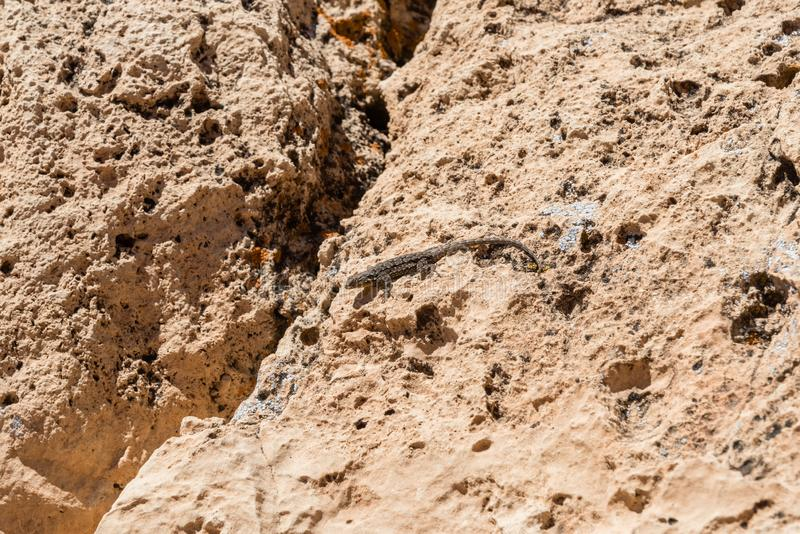 Zachodnia płotowa jaszczurka blisko obręcza meteor crater obrazy royalty free