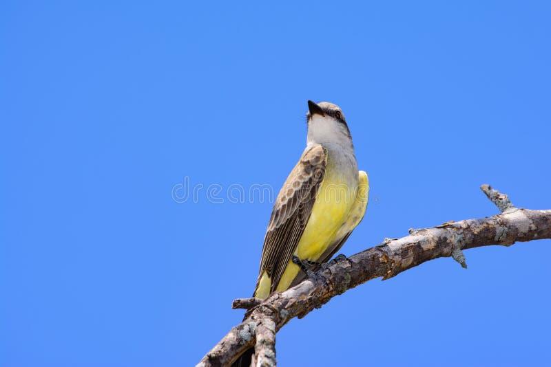 Zachodniego Kingbird Tyrannus verticalis zdjęcia royalty free