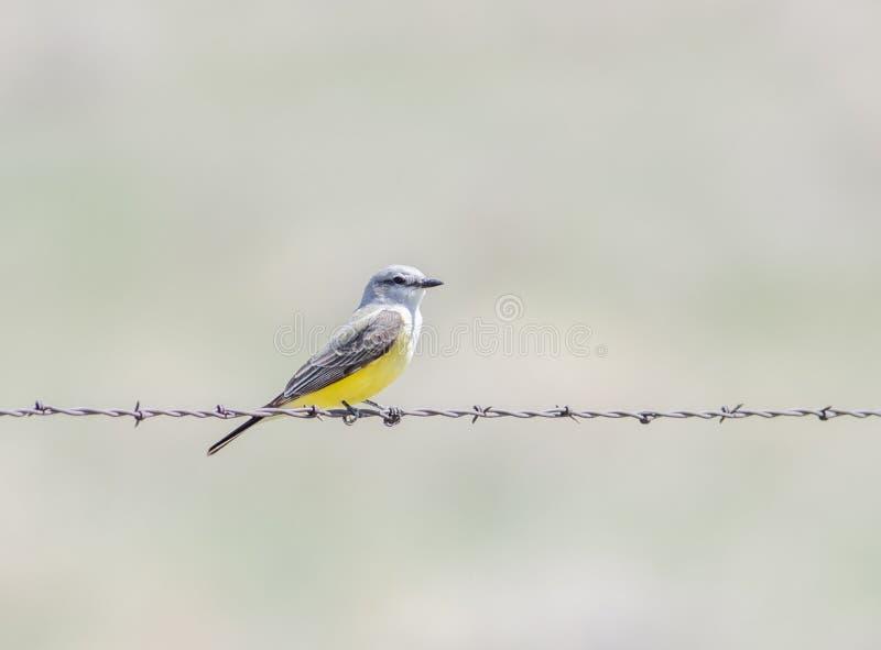 Zachodniego Kingbird Tyrannus verticalis Umieszczający na drucie kolczastym zdjęcie stock