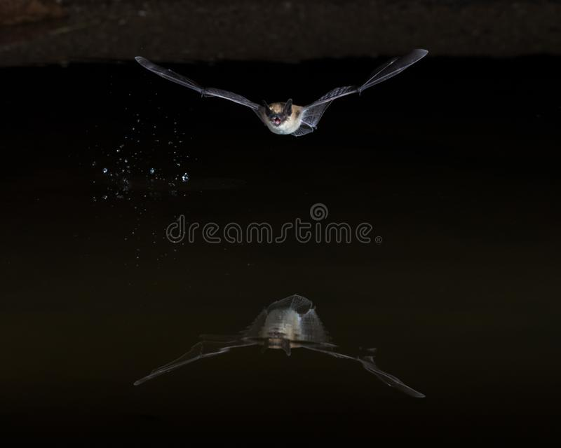 Zachodniego Pipistrelle nietoperz zdjęcia stock