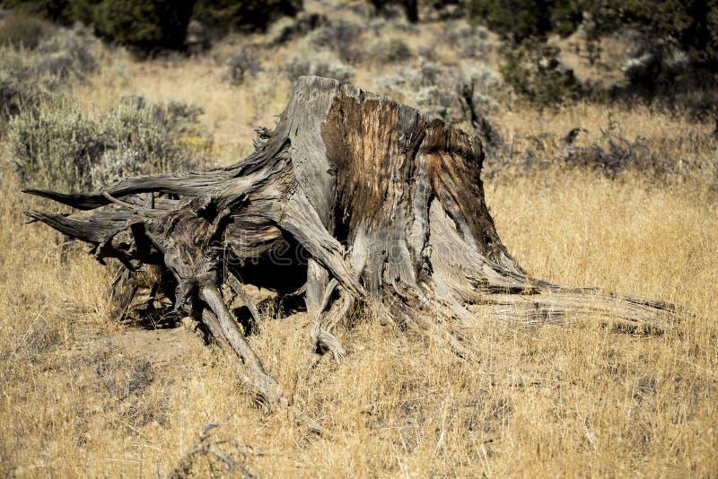 Zachodniego szaleju fiszorek, Oregon badlands fotografia royalty free