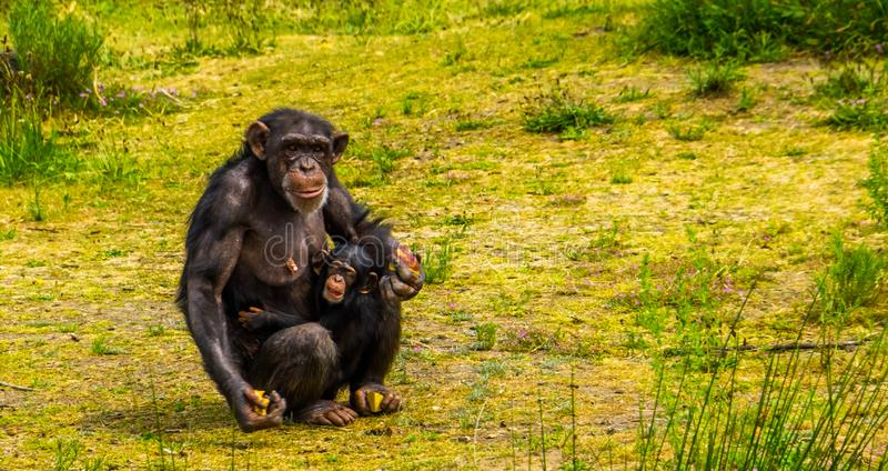 Zachodniego szympansa matka trzyma jej dziecięcego, Pięknego rodzinnego portret, krytycznie zagrażający zwierzęcy specie od Afryk obrazy royalty free