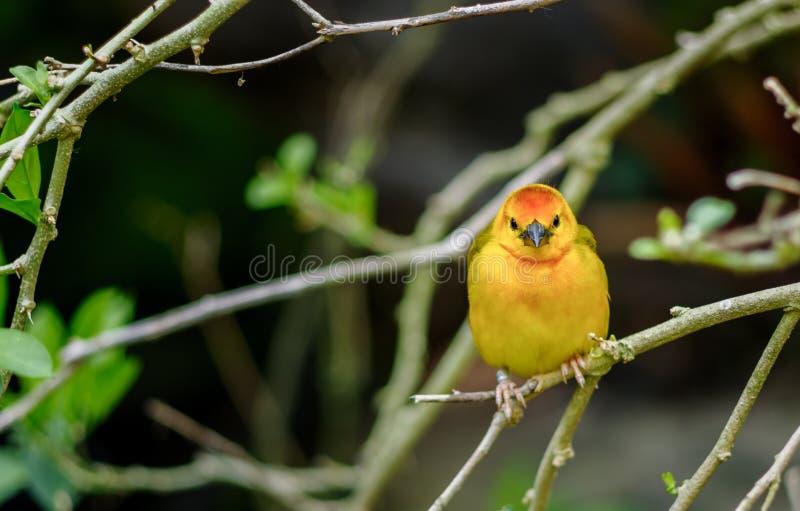Zachodniego Tanager ptak fotografia stock