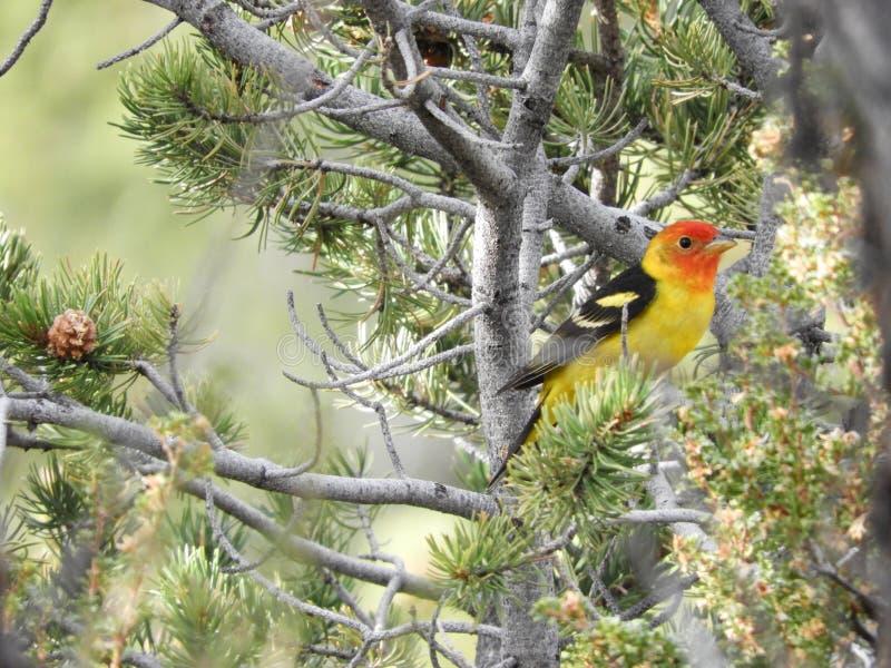 Zachodniego Tanager ptak na drzewie w Grand Canyon parka narodowego usa zdjęcie stock