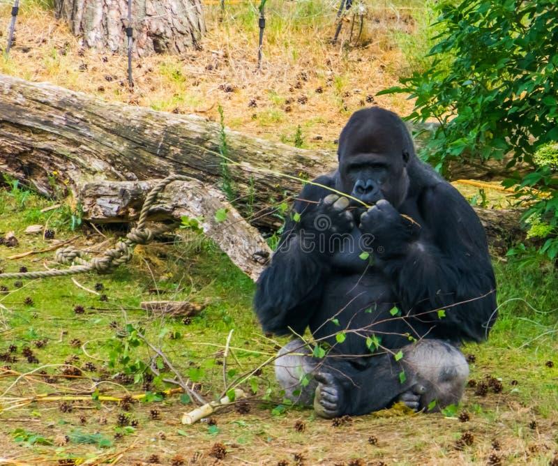 Zachodniej niziny goryl żuć gałąź w zbliżeniu, krytycznie zagrażający zwierzęcy specie od Afryka zdjęcie stock