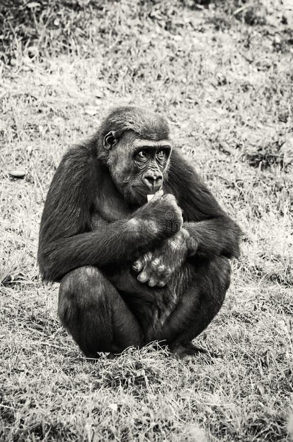 Zachodniej niziny goryl jest jeść, bezbarwny zdjęcie stock