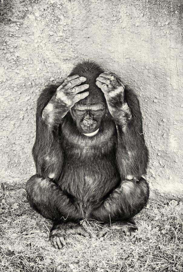 Zachodniej niziny goryl jest myśleć, bezbarwny zdjęcia stock