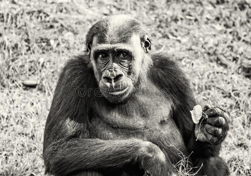 Zachodniej niziny goryl jest pozować, bezbarwny zdjęcie stock