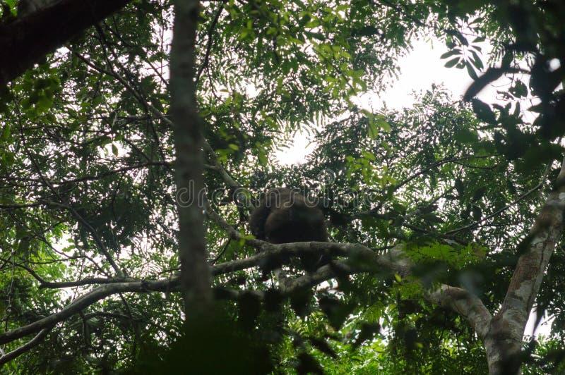 Zachodniej niziny goryl na drzewie, zachodni afrykański tropikalny las deszczowy, Conkouati-Douli park narodowy, Kongo fotografia stock