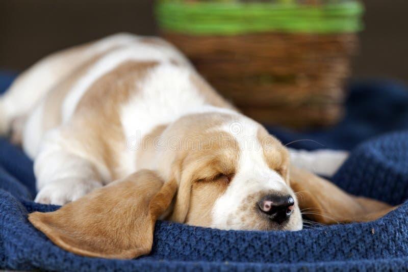 Zacht Basset hondenpuppy die op de deken en het slapen liggen royalty-vrije stock fotografie