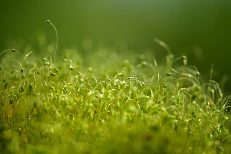 Zacht geconcentreerd die close-up van groene moszaden wordt geschoten met bokeh, vaag het glanzen licht stock afbeelding