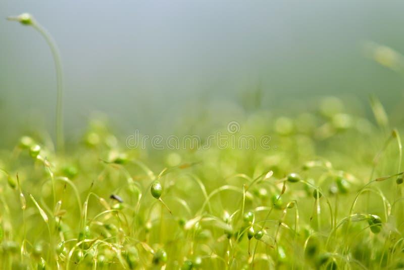 Zacht geconcentreerd die close-up van groene moszaden wordt geschoten met bokeh, vaag het glanzen licht royalty-vrije stock afbeeldingen