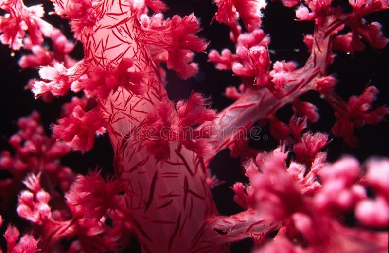Zacht koraal stock fotografie