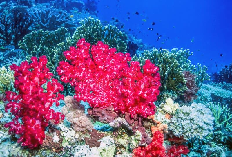 Zacht koraal van de kust van Tavueni Fiji stock fotografie