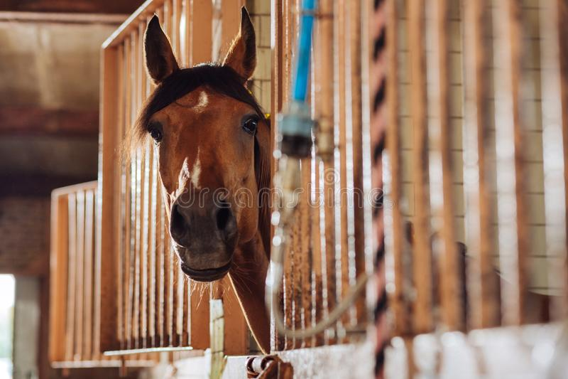 Zacht mooi het rennen paard die zich in beroemde ruime stal bevinden royalty-vrije stock fotografie