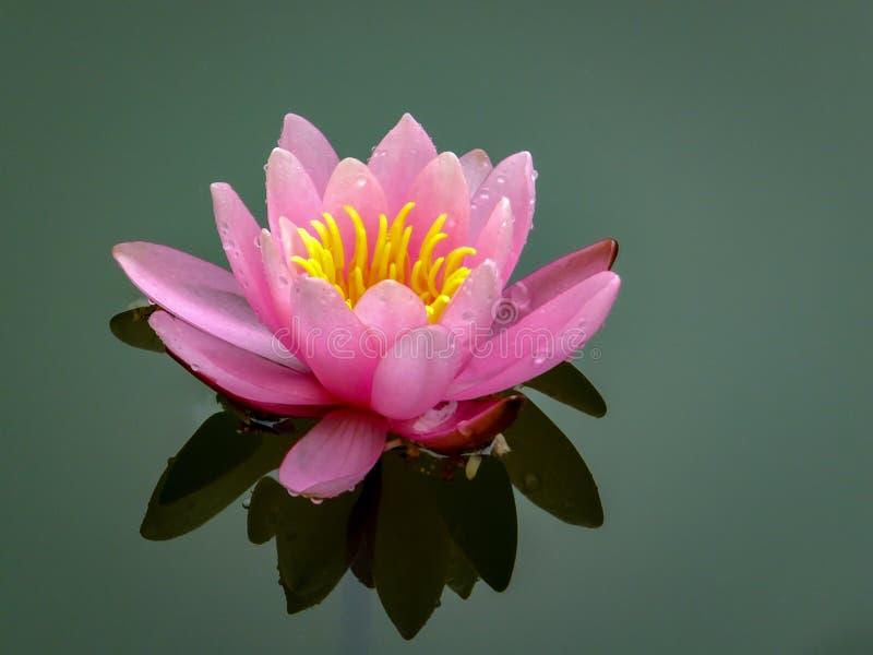 Zacht roze mooie waterlelie of lotusbloembloem Marliacea Rosea in oude vijver De bloemblaadjes van Nymphaea worden weerspiegeld s stock afbeelding