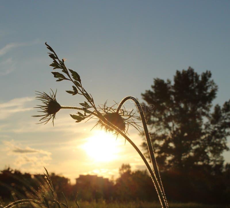 Zachte bloem kleine lamp tegen de achtergrond van het plaatsen van de zon stock afbeelding