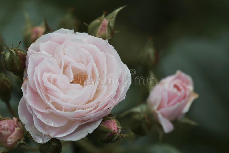 Zachte en zoete schoonheid van een bloem royalty-vrije stock afbeelding