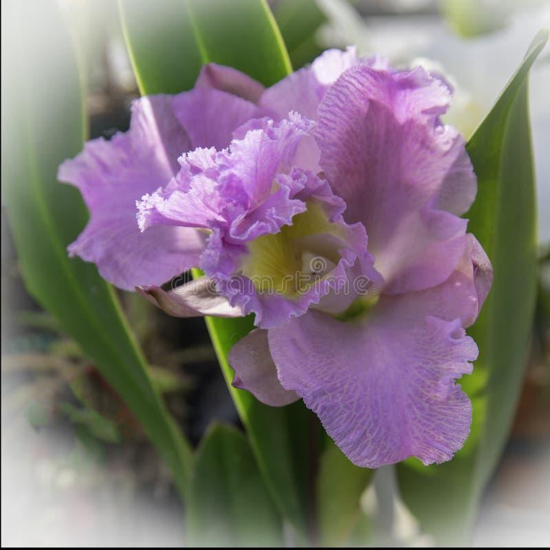 Zachte Geconcentreerde Magenta Orchideebloei stock foto's