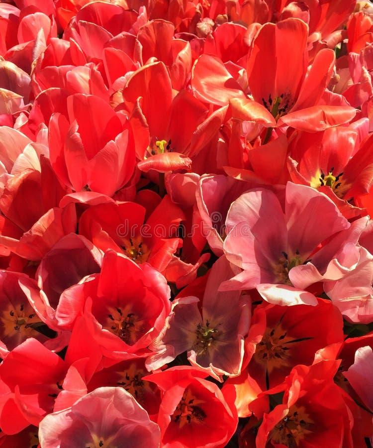 Zachte gele en roze tulp Close-up horizontale foto stock afbeelding