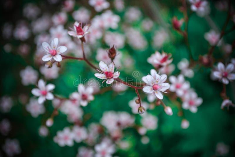 Zachte kersenbloemen in uw hert stock afbeelding
