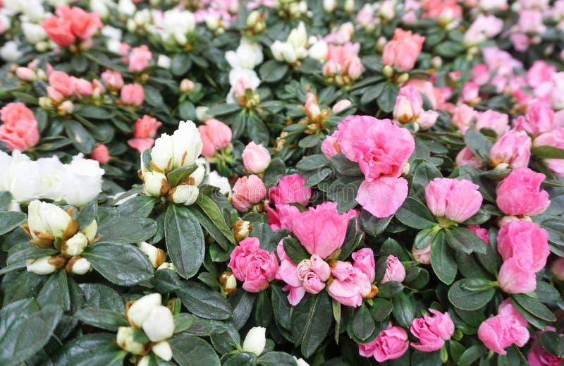 Zachte minirozenachtergrond Gebied van roze bloemen in wit en van de pastelkleur roze kleur toon royalty-vrije stock foto's