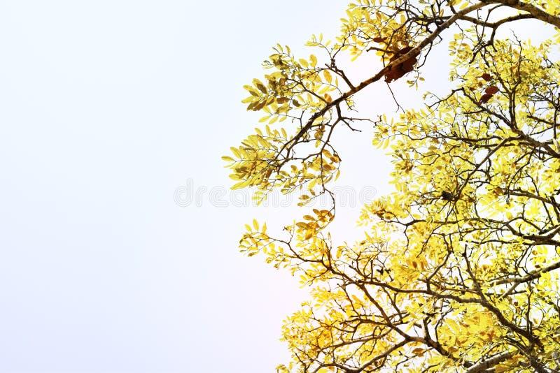 Zachte nadruk, mooie gele boomachtergrond stock fotografie