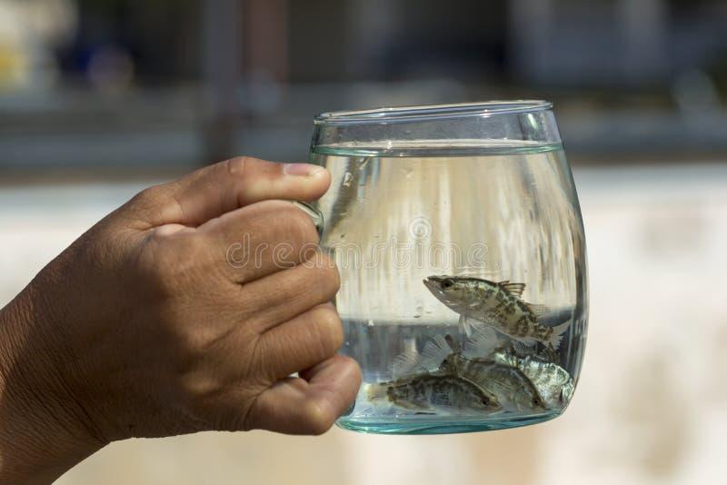 Zachte nadruk van Reuzetoppositie, Overzeese Baarzen, Witte Overzees Bass Lates calcarifer in een glas stock foto