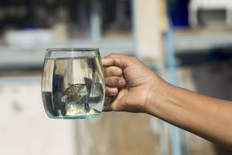 Zachte nadruk van Reuzetoppositie, Overzeese Baarzen, Witte Overzees Bass Lates calcarifer in een glas royalty-vrije stock foto's