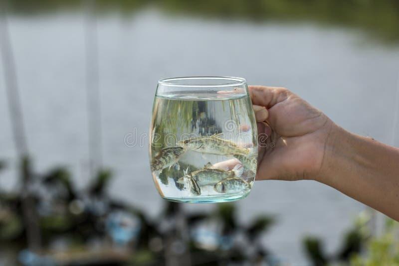 Zachte nadruk van Reuzetoppositie, Overzeese Baarzen, Witte Overzees Bass Lates calcarifer in een glas royalty-vrije stock afbeeldingen