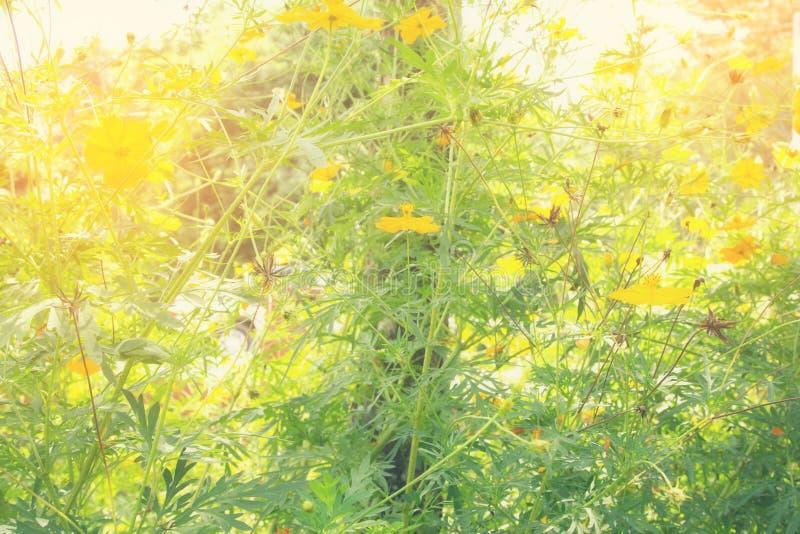 Zachte onduidelijk beeld abstracte achtergrond met van kosmosbloemen in de tuin Pastelkleurtoon royalty-vrije stock afbeelding