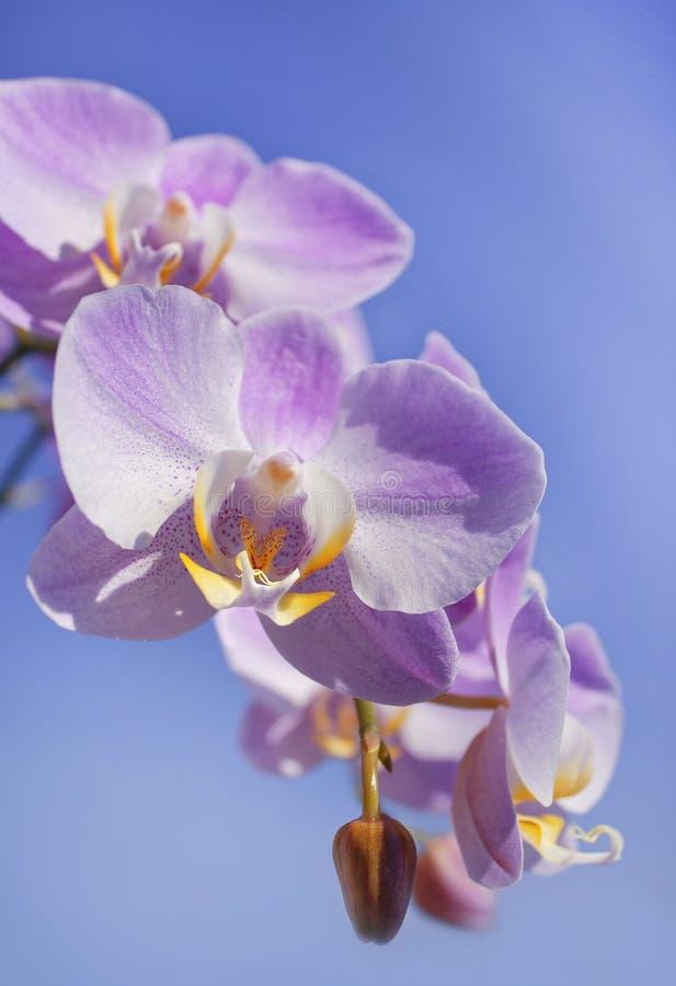 Zachte purpere orchidee met ongebruikelijke kern stock afbeeldingen