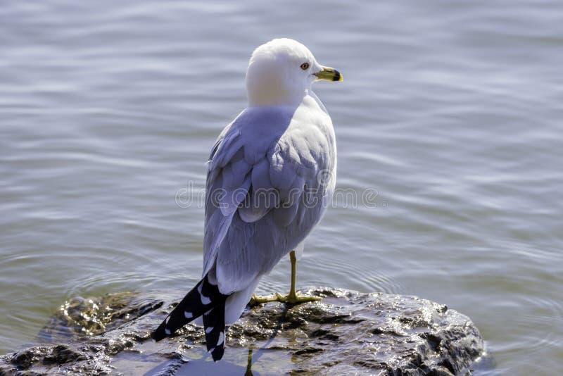 Zachte ring gefactureerde meeuwvogel die zich op rots in meerwater lookin bevinden royalty-vrije stock foto's