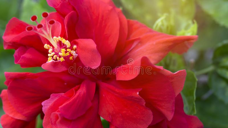 Zachte rode bloedplaatjes omgeven door stamen en pistil van de rode Hawaiiaanse hibiscus of op een andere naam genoemd: Shoe-bloe stock foto