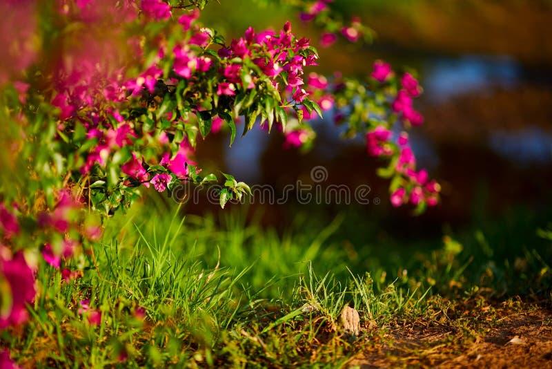 Zachte roze Antigonon-leptopusbloem en gekend als Mexicaanse klimplant of van de van de koraalwijnstok of bij struik op bokeh en  stock foto